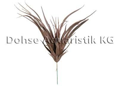 Tillandsie Sonora, Breite 30 cm